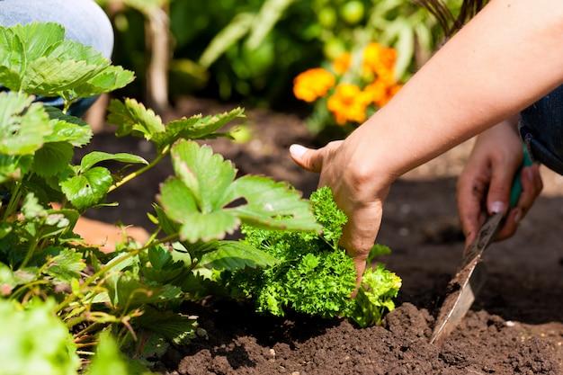 Mãos de jardineiro plantar salsa Foto Premium