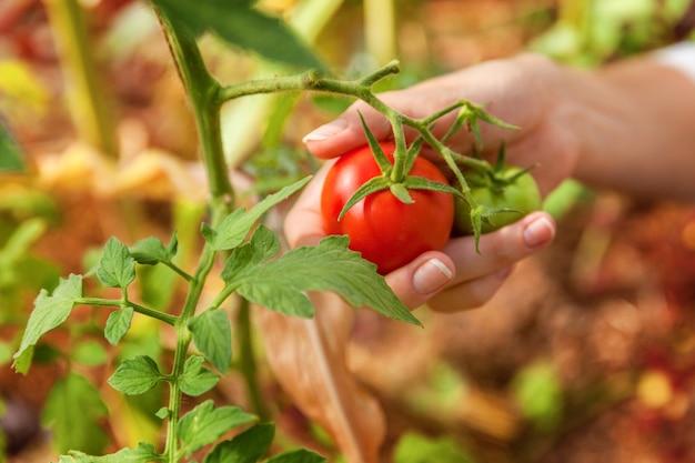 Mãos de trabalhador de fazenda de mulher colhendo tomates orgânicos maduros frescos crescendo em estufa Foto Premium