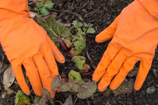 Mãos em luvas laranja cuidando de ruibarbo jovem no jardim Foto Premium