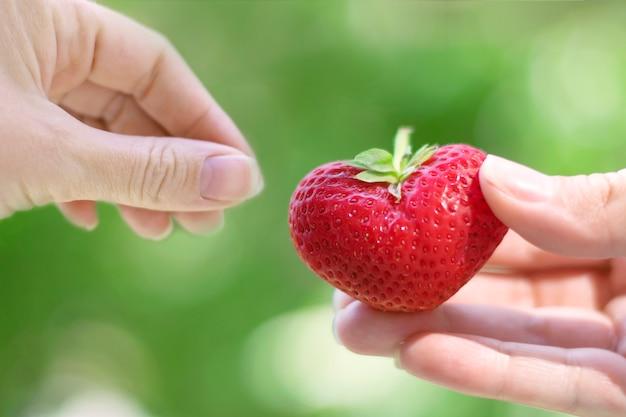 Mãos femininas transmitem morangos em forma de coração. o conceito de amor, beleza, ternura. Foto Premium