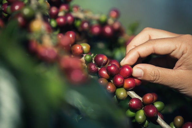 Mãos que estão escolhendo grãos de café do cafeeiro Foto gratuita