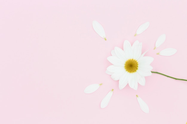 Margarida branca vista superior em fundo rosa Foto gratuita