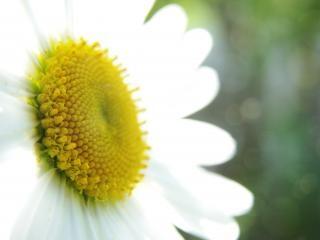 Margarida, flor Foto gratuita
