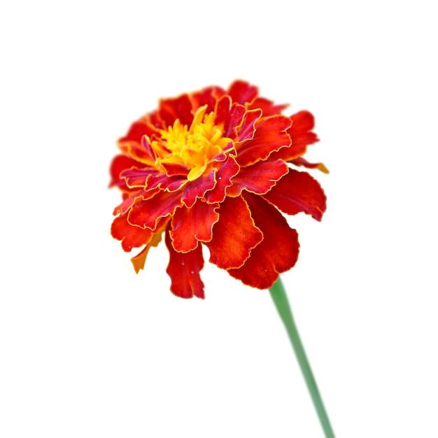 Marigold borgonha isolado em um fundo preto Foto Premium