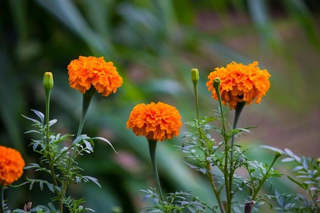 Marigold Foto Premium
