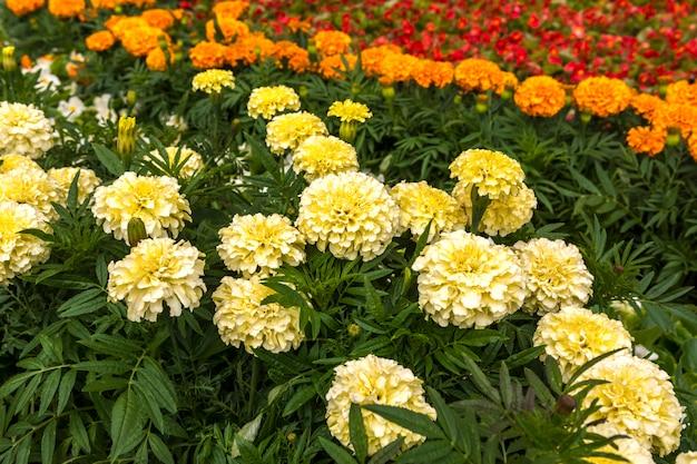 Marigolds brancos e alaranjados na cama de flor. Foto Premium