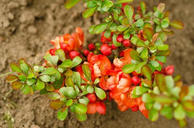 Marmelo japonês de floração. chaenomeles japonica. Foto Premium