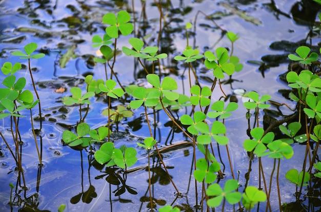 Marsilea crenata (trevo de água, shamrock de água) tem gotículas no piso de água. Foto Premium