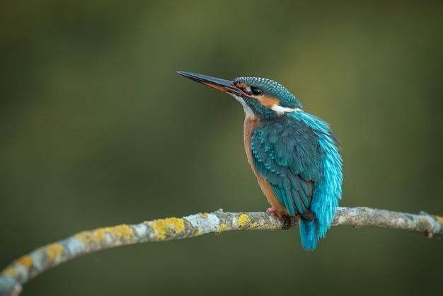 Martim-pescador, alcedo atthis, martim-pescador, ornitologia, pesca, rio, pássaro Foto Premium