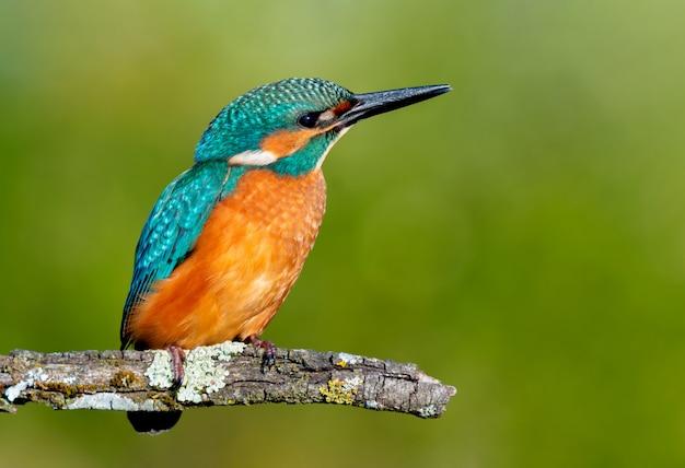 Martim-pescador empoleirado em um galho Foto Premium