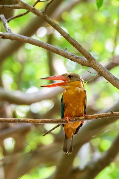 Martinho pescatore cegonha-de-bico que empoleira-se no ramo de árvore com fundo verde do bokeh, tailândia Foto Premium