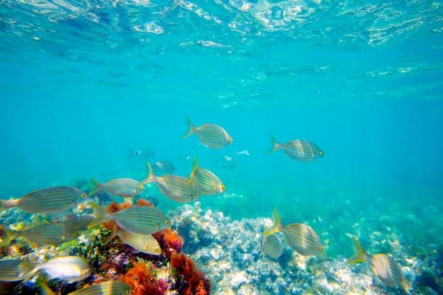 Mediterrâneo subaquático com escola de peixe salema Foto Premium