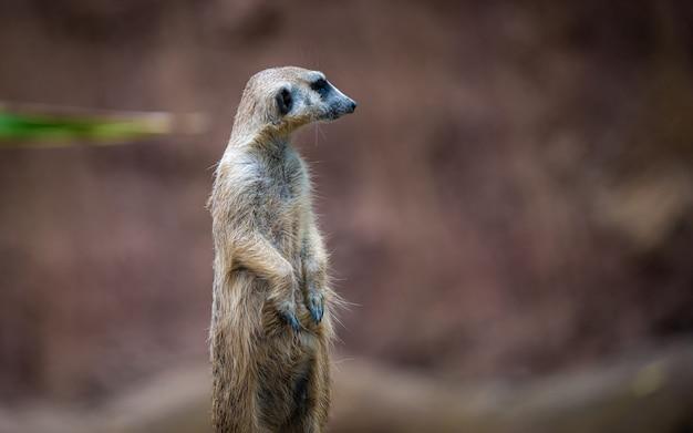 Meerkat animais selvagens Foto Premium