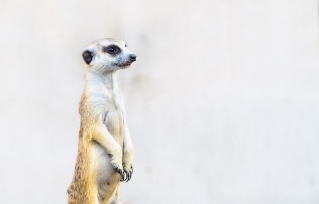 Meerkat suricata suricatta, animal nativo africano, Foto Premium