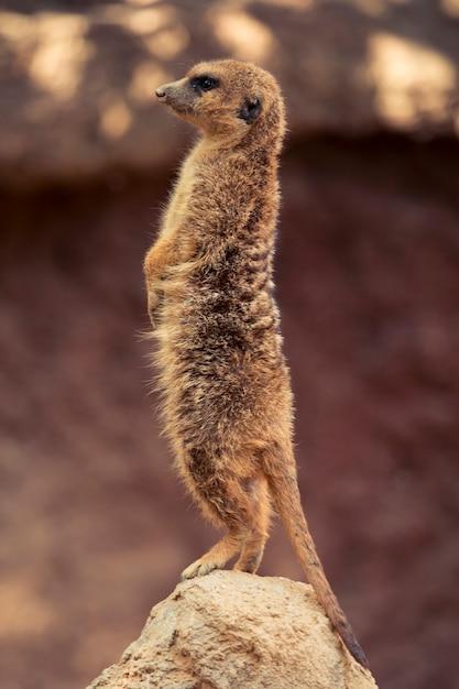 Meerkat Foto gratuita