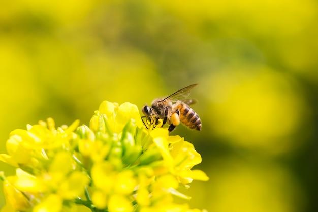 Mel abelha coletando pólen na flor de canola Foto Premium