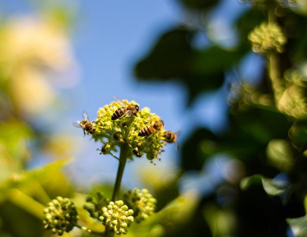 Mel de abelhas coletando néctar em flores de hera. hera florescendo Foto Premium