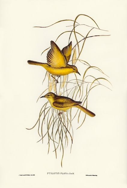 Mel-devorador amarelo (ptilotis flava) ilustrado por elizabeth gould Foto gratuita