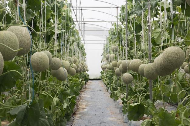 Melão no jardim de casa sem pesticidas. Foto Premium