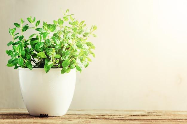 Melissa aromático fresco verde da erva, hortelã no potenciômetro branco no fundo de madeira. b Foto Premium
