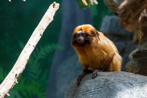Mico-leão dourado fofo sentado em uma rocha Foto gratuita