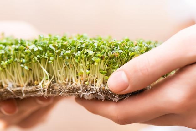 Microgreen. sementes de mostarda germinadas no tapete de linho nas mãos femininas. Foto gratuita