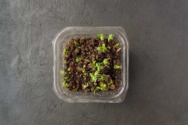 Microgreens em recipiente plástico. comida macrobiótica saudável em casa. Foto Premium