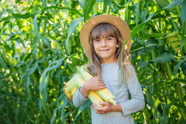 Milho no campo nas mãos de uma criança Foto Premium