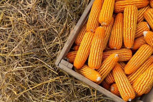 Milho para o alimento na caixa de madeira, grãos amarelos como o fundo. Foto Premium