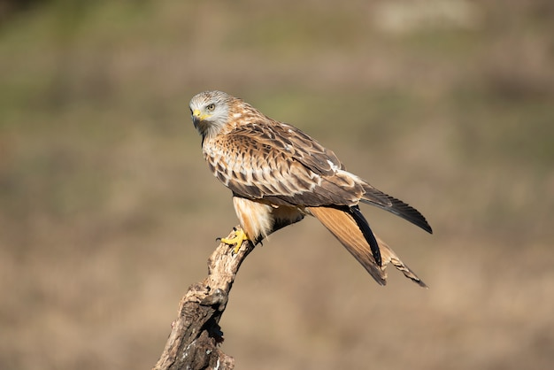 Milvus papagaio vermelho Foto Premium