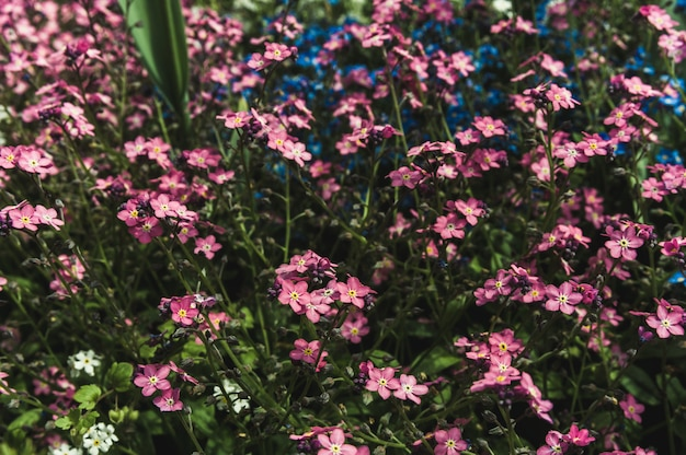 Miosótis-de-rosa e azuis no gramado Foto Premium