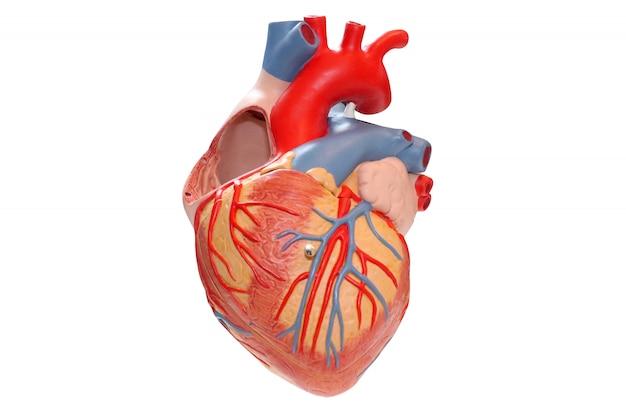 Modelo do coração humano e cardiógrafo em fundo branco Foto Premium