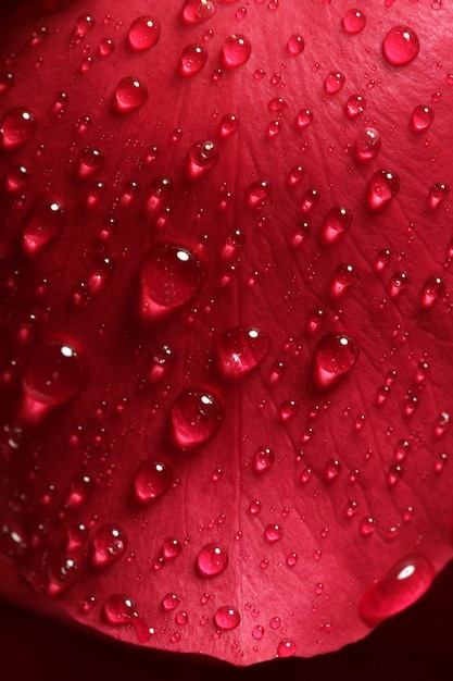 Molhados, cima, macro, pétalas rosas, gotas água Foto Premium