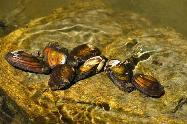Moluscos de rio na rocha em um rio limpo. anodonta anatina Foto gratuita