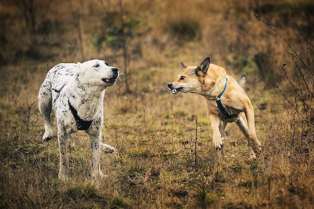 Mongrel e cão-pastor da ásia central ao ar livre Foto Premium
