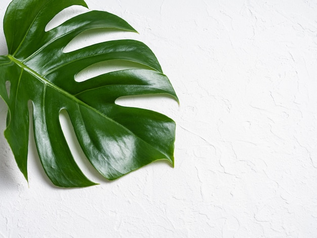 Monstera brilhante bonita deixa no fundo branco Foto Premium