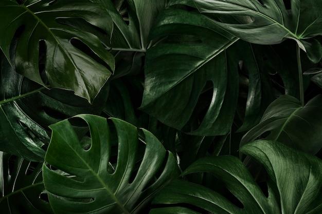 Monstera verde deixa a natureza Foto gratuita