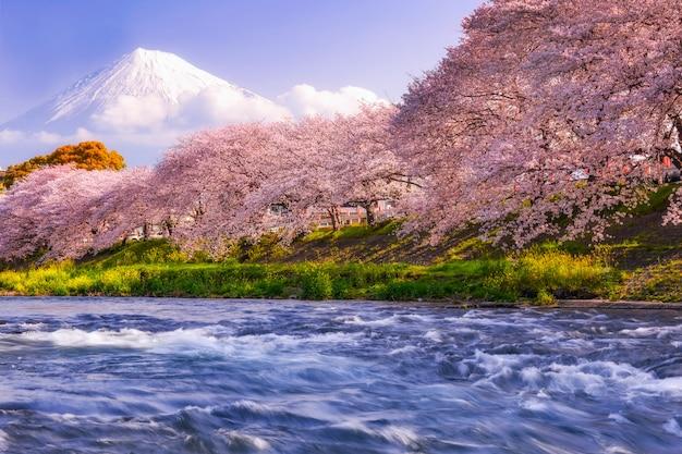 Montanha fuji na estação de mola, japão. flor de cerejeira sakura. Foto Premium