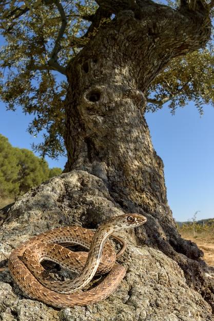 Montpellier, cobra, (malpolon, monspessulanus), femininas, em, um, oliveira Foto Premium