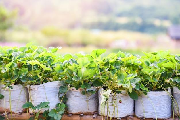 Morango em pote com folhas verdes no jardim - plante morangos de árvores no campo crescendo na agricultura Foto Premium