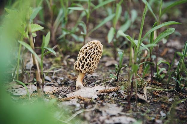Morel de cogumelos comestíveis na natureza Foto Premium