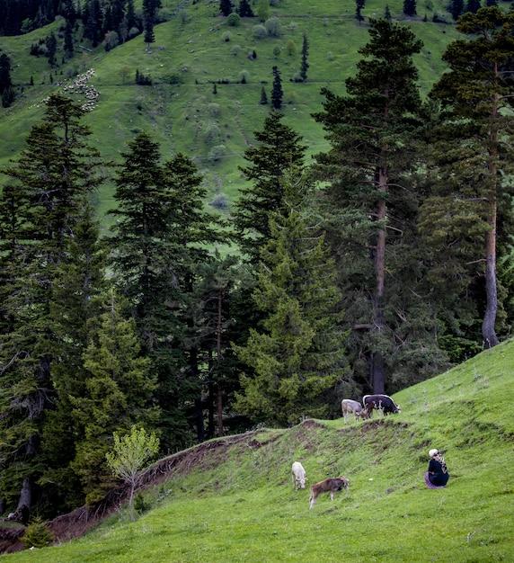 Morro coberto de florestas cercado por vacas pastando com uma mulher sentada perto delas Foto gratuita