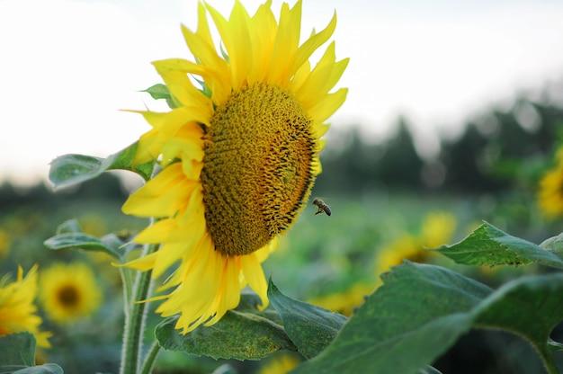 Mosca de abelha para o girassol. Foto Premium