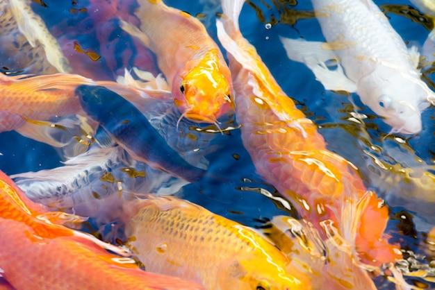Movimento de belo peixe koi nadando na lagoa Foto gratuita