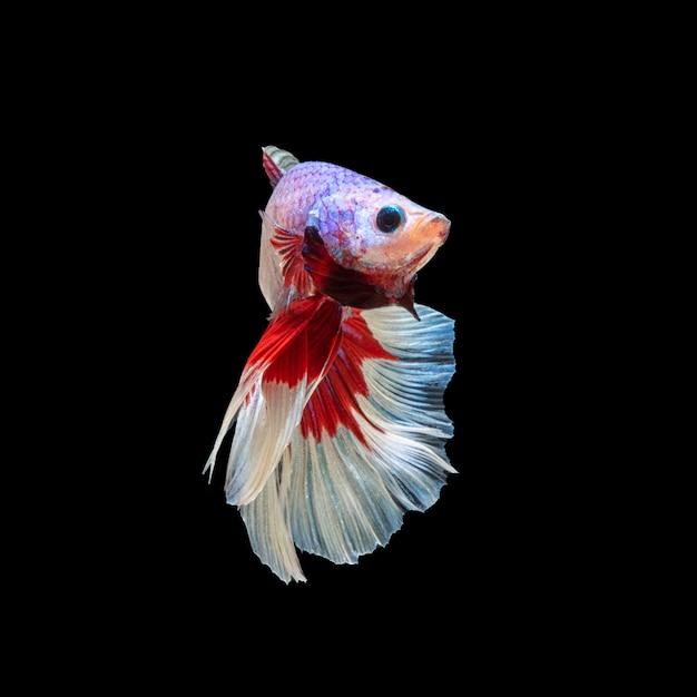 Movimento de peixe betta, peixe-lutador-siamês, betta splendens isolado Foto Premium