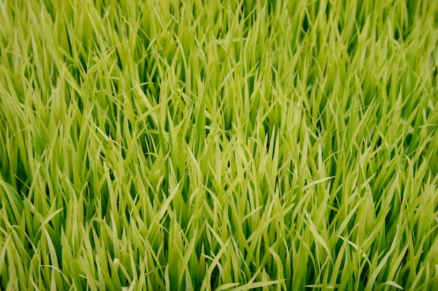 Mudas de arroz Foto Premium