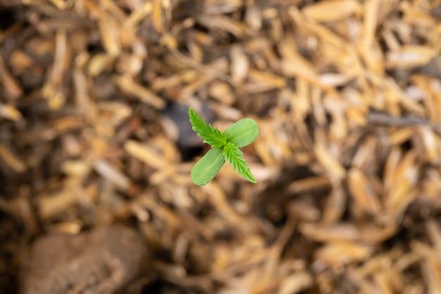 Mudas de cannabis que estão brotando em sacos de sementes Foto Premium