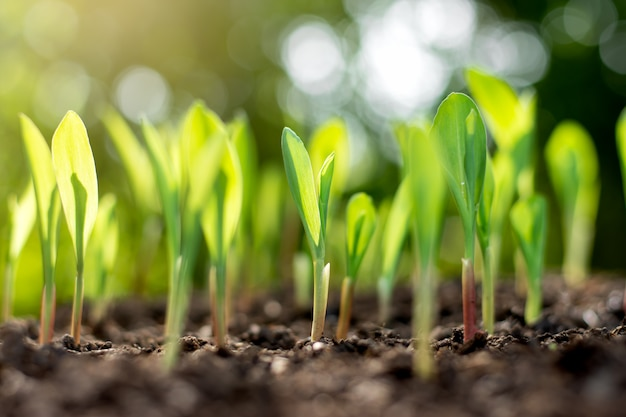 Mudas de milho estão crescendo de solo abundante. Foto Premium