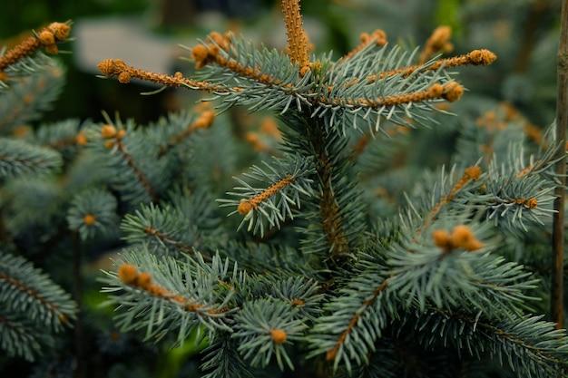 Mudas de pinheiro, abeto, abeto, sequóias e outras árvores coníferas em vasos no viveiro. Foto Premium