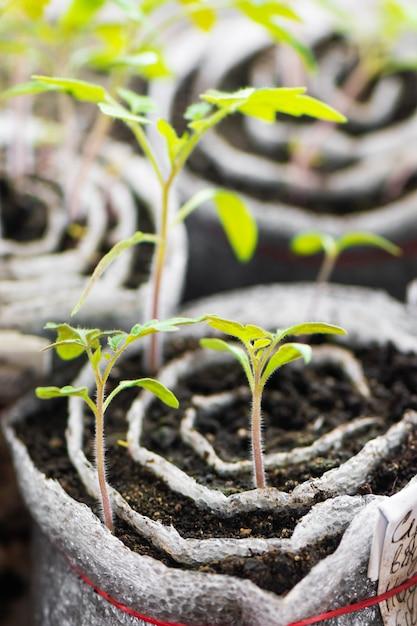 Mudas de tomate. plantas jovens em células plásticas, jardinagem orgânica Foto gratuita